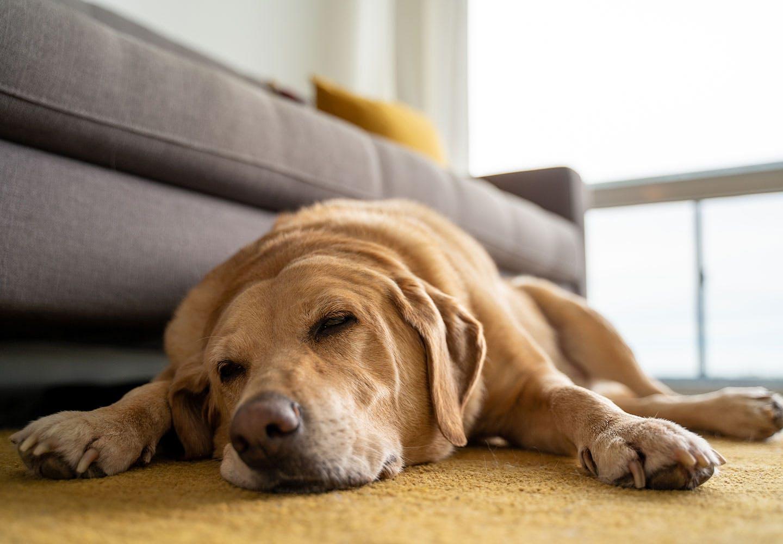 犬のうんちの回数・形状・臭いや見た目などからわかることは? ぐったりしている犬
