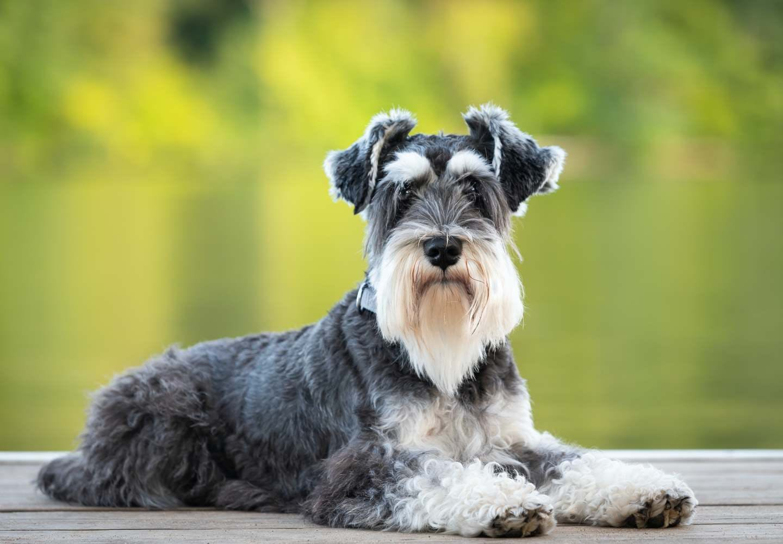犬が伏せをする理由は?行動の裏にある気持ちや、伏せを教えるしつけ方法などを解説【獣医師監修】