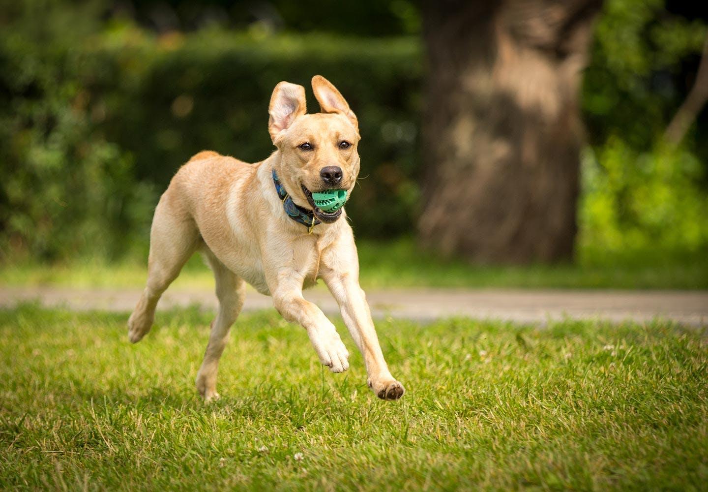 犬が誤飲・誤食した時の対処法は? ボールをくわえた犬