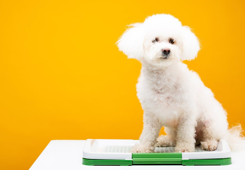 犬のうんちの回数・形状・臭いや見た目などからわかることは? トイレに座る犬