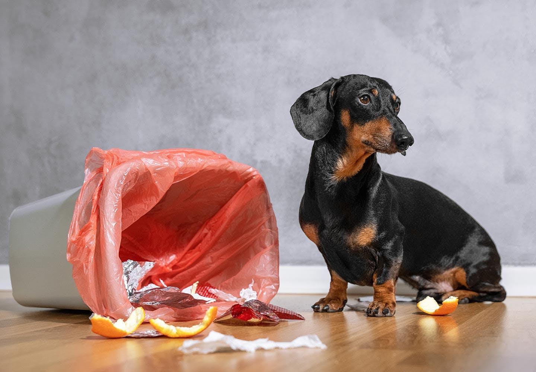 【獣医師監修】犬が誤飲・誤食した時の対処法は?特に危険なケースや予防法などについて解説