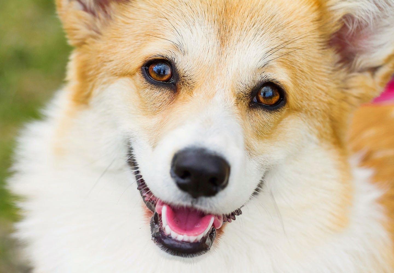 犬の目が赤い・充血している原因とは?