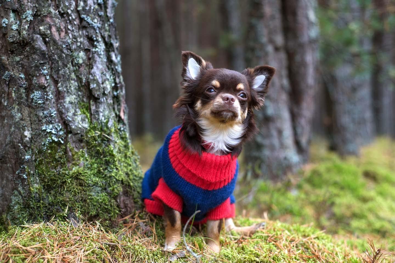 チワワは震えがちな犬種