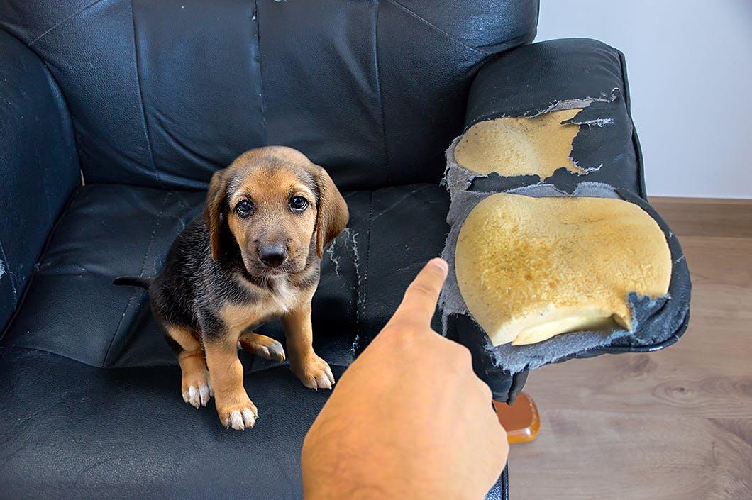 対策としつけ法を解説!子犬が家具を甘噛みして傷つけてしまう理由