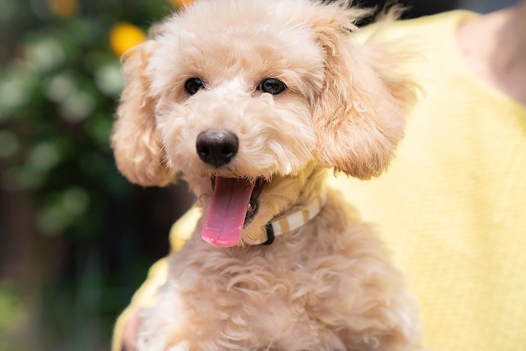 【獣医師監修】小型犬がかかりやすい病気とは?代表的な犬種別に解説