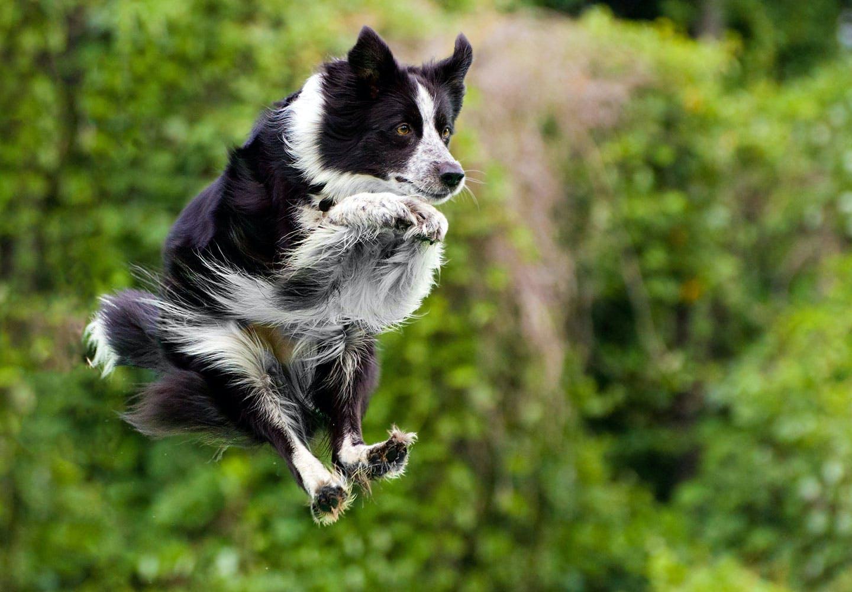 【獣医師監修】犬のジャンプは危険!?リスクとやめさせるためのしつけを紹介