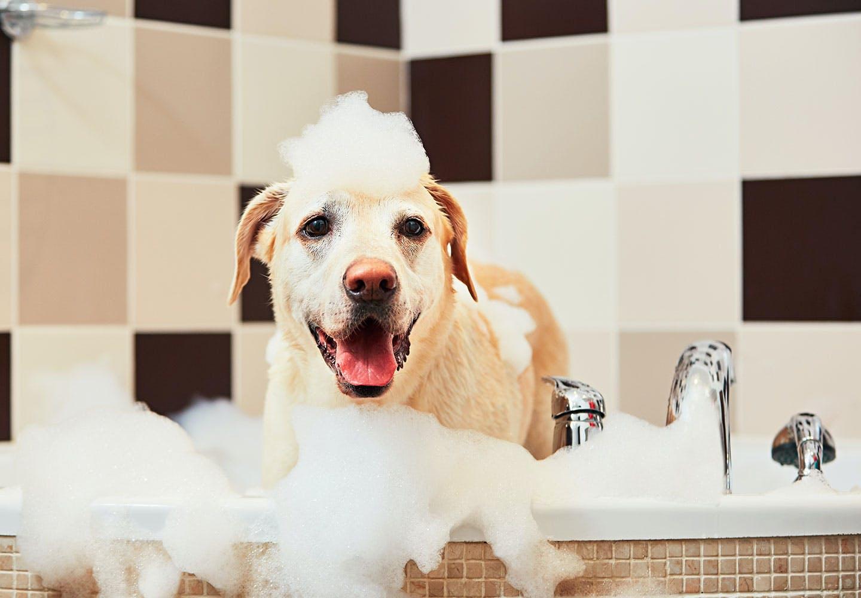 犬のシャンプーの頻度は?最適なお湯の温度や正しい手順、嫌がる場合の対処法を解説【獣医師監修】