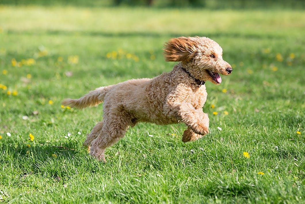 犬が遊びや散歩中に突然走り出す理由!それは意外な気持ちでした