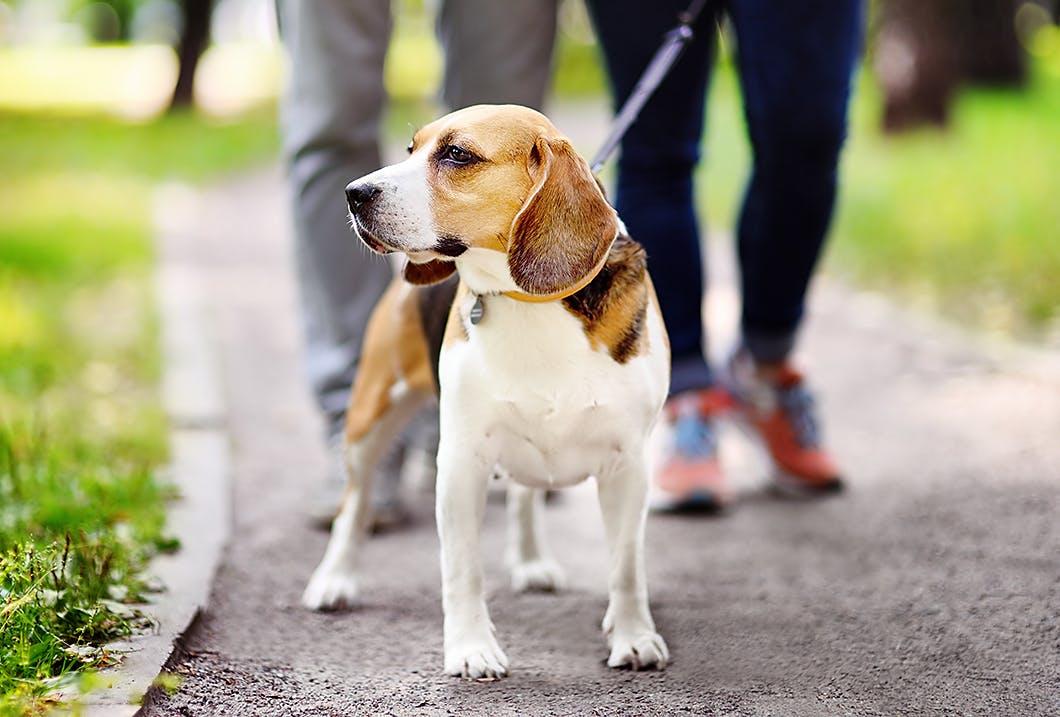 老犬が散歩を嫌がるなら「第3反抗期」かも? 正しい対処法とは