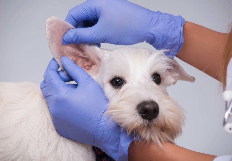 犬の耳が臭い原因は?考えられる病気と対処法について解説【獣医師監修】