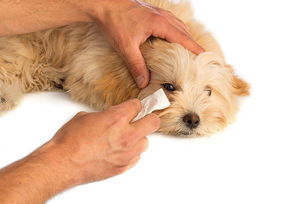 涙やけ予防にも?犬の目のまわりのお手入れのコツや注意点