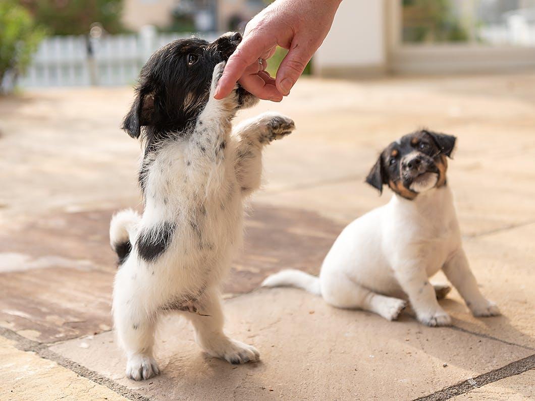 子犬期のしつけが肝心!子犬が遊びの延長で甘噛みする理由と対策