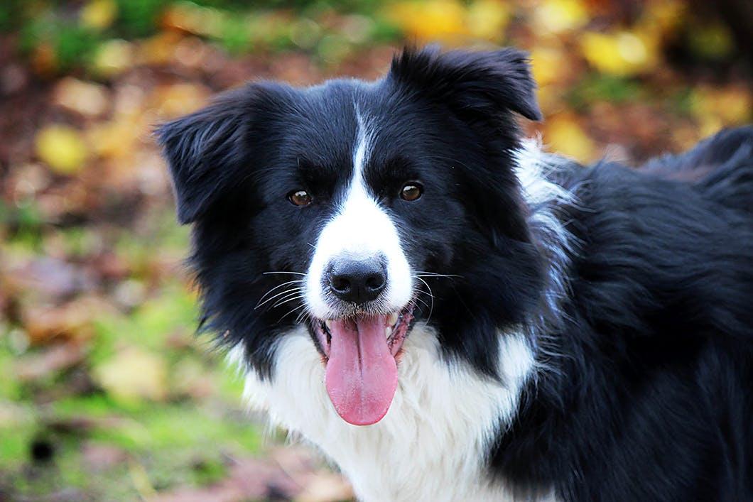 ボーダー・コリーは賢い犬種って本当?性格や特徴を知りたい!