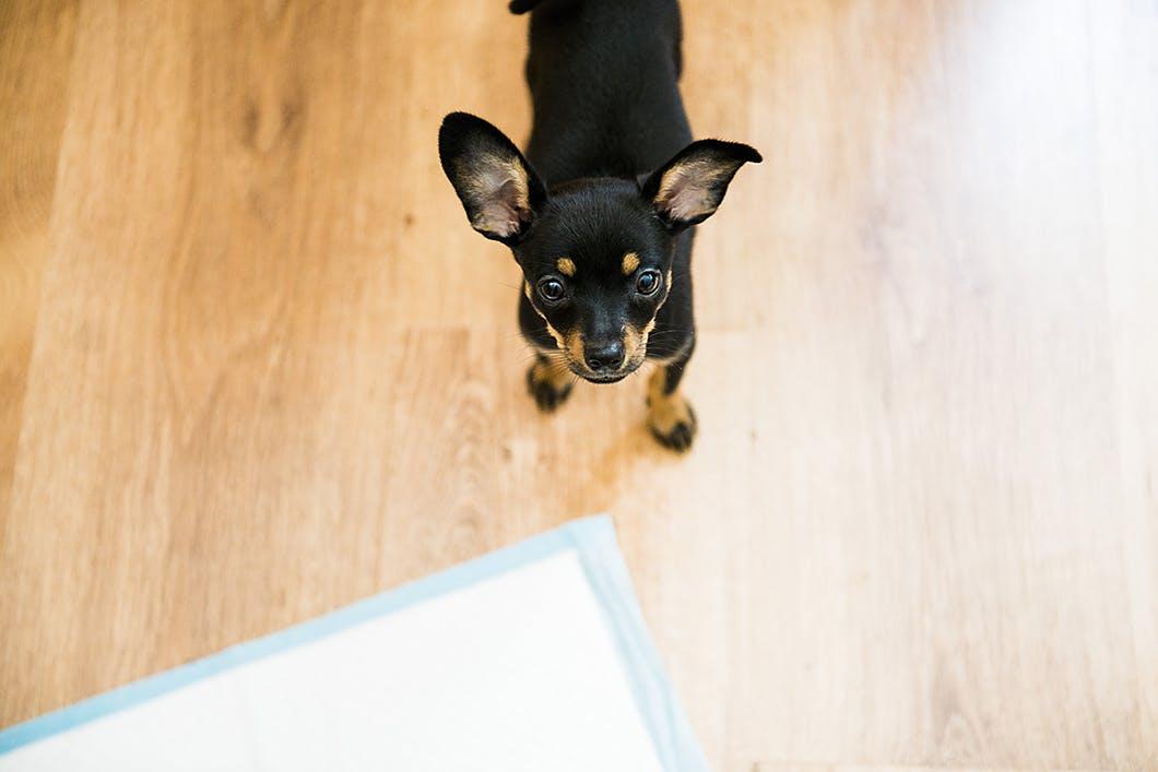 子犬のうちにやるべき!室内でのトイレトレーニングの正しい方法とは