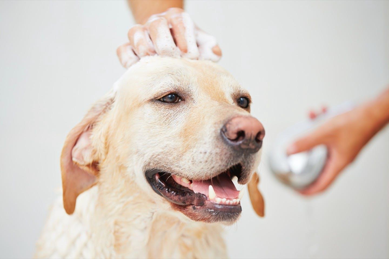 皮膚病を予防する!犬の正しいシャンプーのコツや注意点とは