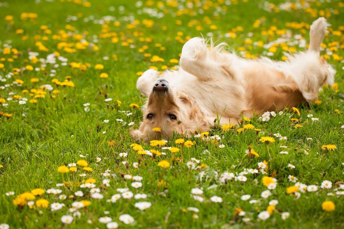 【獣医師監修】犬が体を床にこすりつける理由や心理とは?スリスリする場所やシーン別に解説