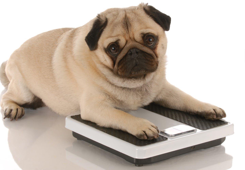 【獣医師監修】愛犬は大丈夫?肥満の原因やリスク・予防・解消方法とは