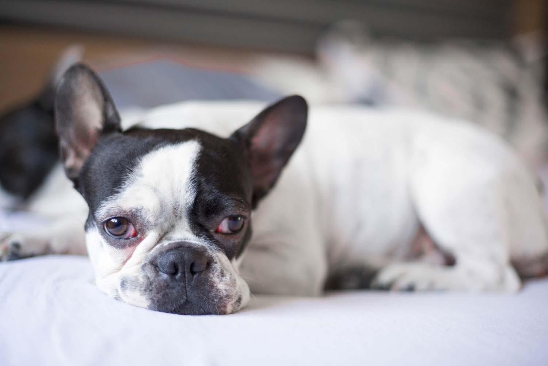【獣医師監修】犬の目が赤い・充血している原因とは?考えられる病気と対処法を解説
