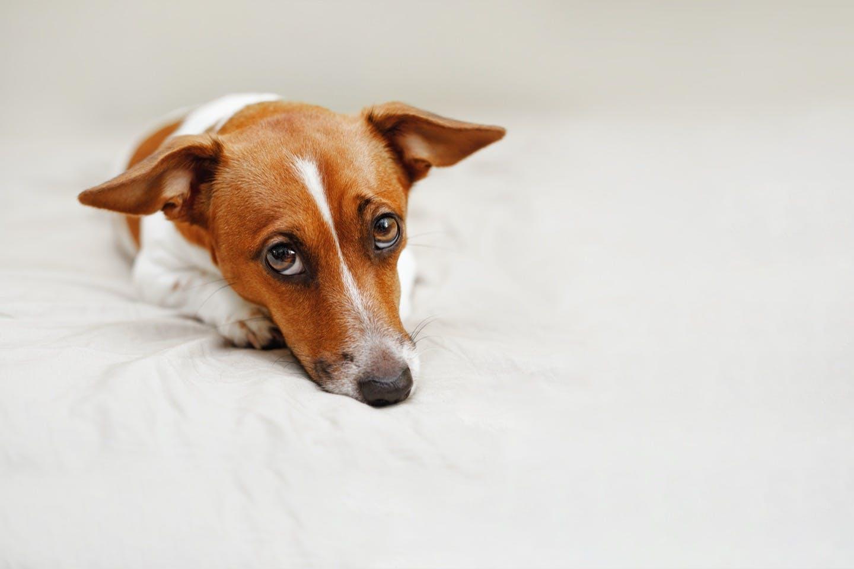 【獣医師監修】犬の抜け毛がひどいときに考えられる病気は?