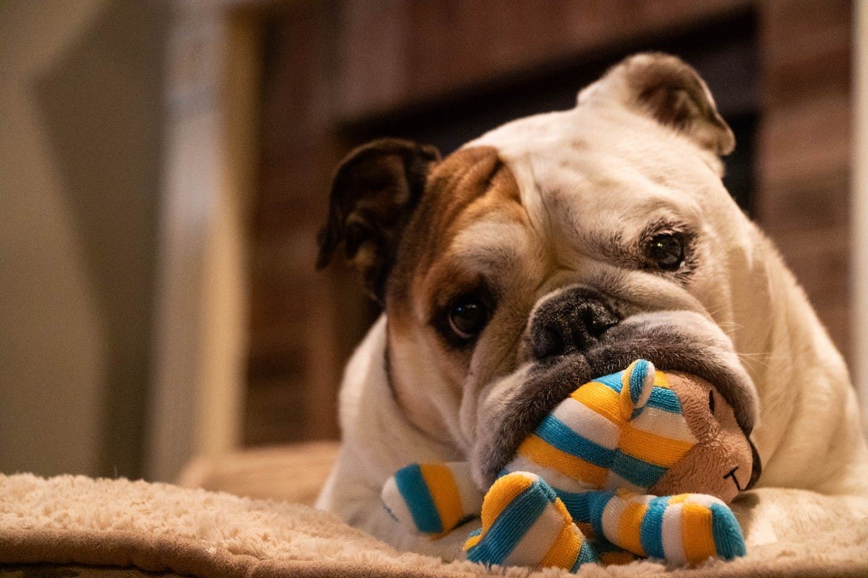 【獣医師監修】成犬がストレスでかかりやすい病気や原因・解消法とは