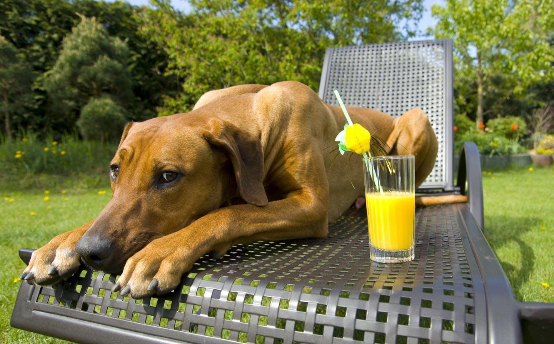 犬に牛乳やジュースは大丈夫?人用の飲み物を犬に与えてもいいの?