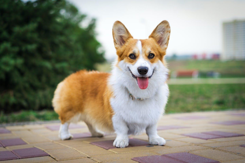 ウェルシュ・コーギー・ペンブロークとはどんな犬?性格や特徴など!