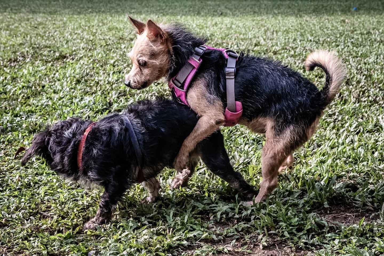 【獣医師監修】犬のマウンティングの理由とは?対処法とやめさせる時の注意点について解説