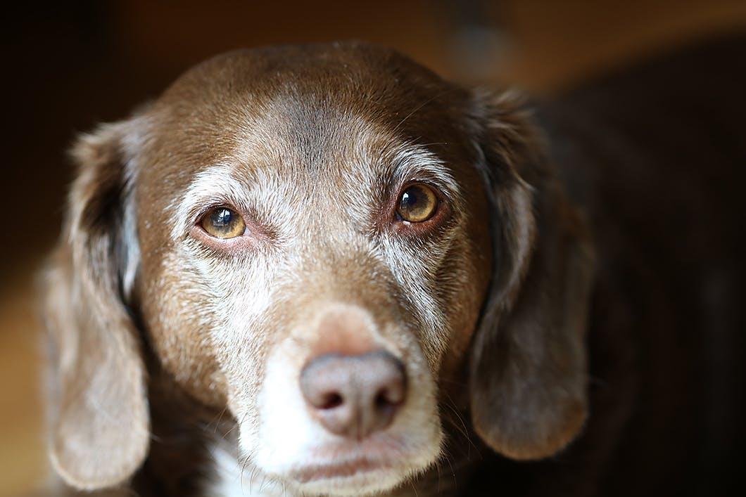 【獣医師監修】老犬の元気がないのは病気のせい?加齢以外の原因とは