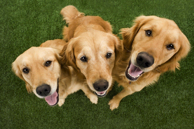 ゴールデン・レトリーバーってどんな犬種?性格や特徴・飼い方を解説