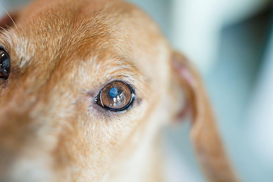 【獣医師監修】充血・黒目が白い……犬の目の異常から考えられる病気