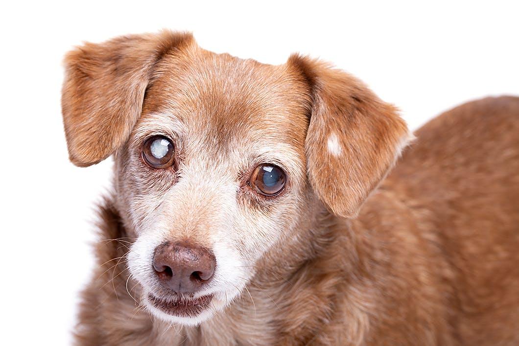 【獣医師監修】犬の目が白いのは白内障? 症状や対処法、予防のコツ