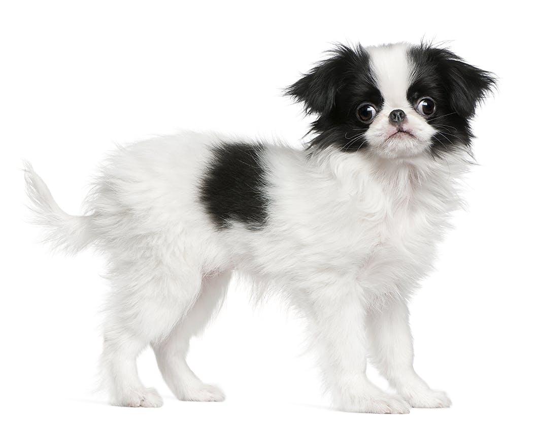日本伝統の犬種「狆」!性格・特徴・かかりやすい病気などを解説