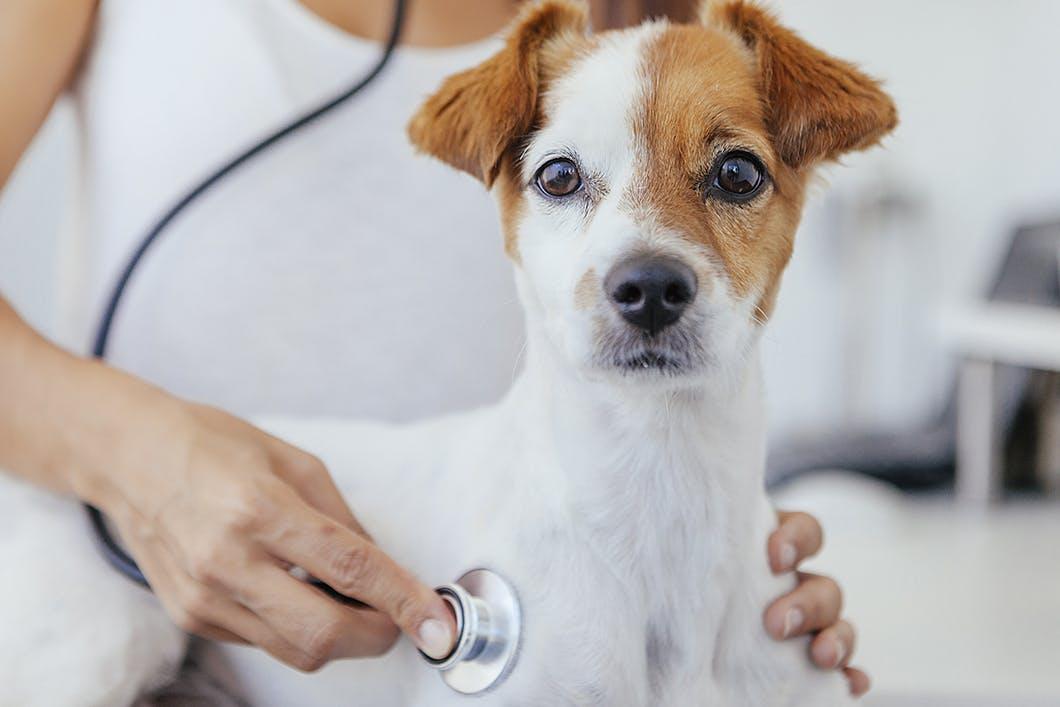 【獣医師監修】犬に去勢手術は必要?メリット・デメリットなどを解説