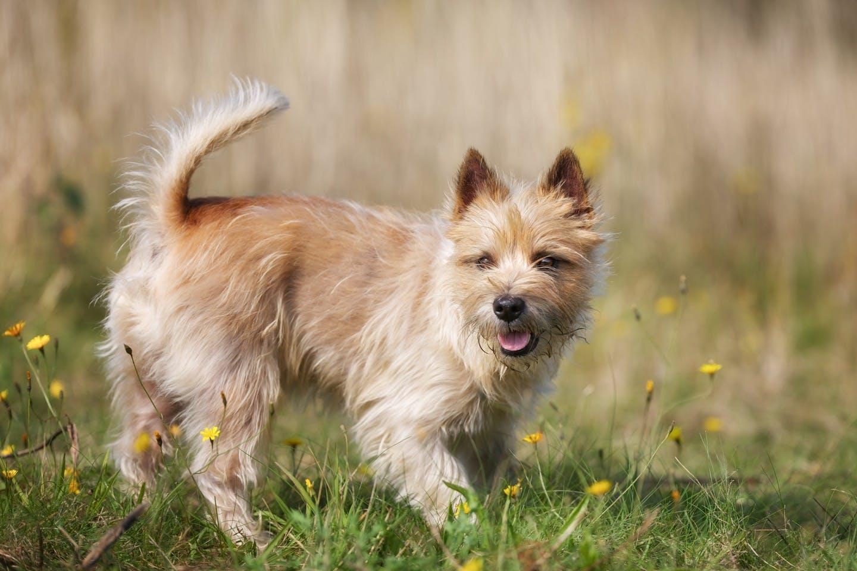 ケアーン・テリアってどんな犬?性格・特徴・かかりやすい病気を解説