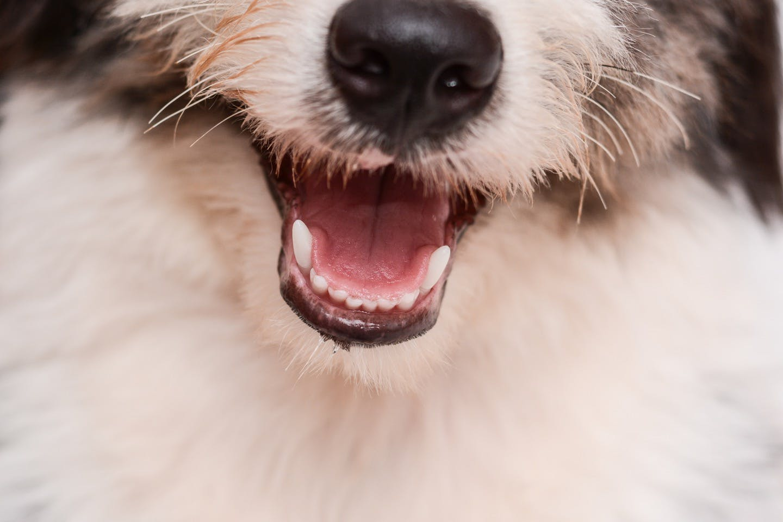 【獣医師監修】犬の口の中をチェック! 歯ぐき・歯・口臭は大丈夫?