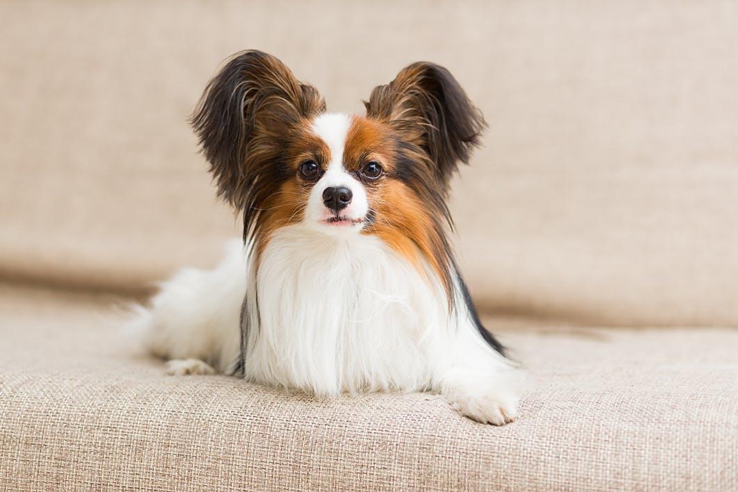 美しい犬種パピヨンの性格や特徴は?かかりやすい病気も解説!