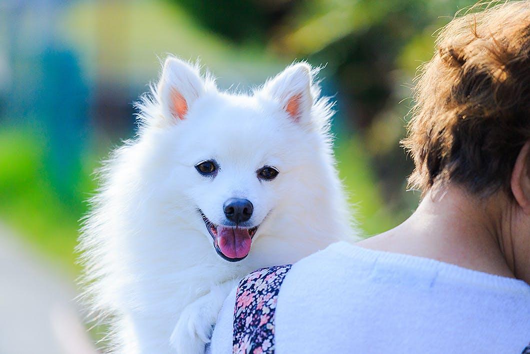日本スピッツってどんな犬種?性格・特徴・かかりやすい病気を解説!