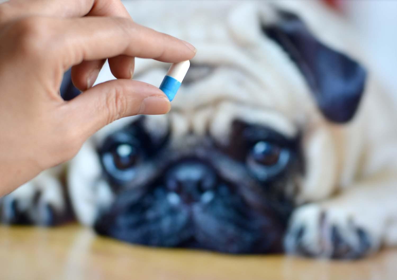 シニア犬が薬を飲んでくれない!?上手に飲ませるコツを獣医師が伝授!