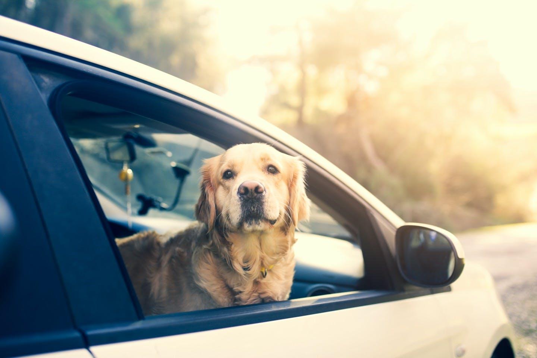 フリーで車に乗せるのは違反?犬を車に乗せるときに必要なグッズとは