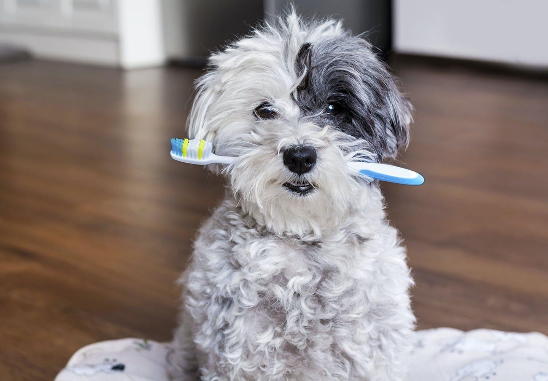 【獣医師監修】わんちゃんの歯みがきはいつから始めればいいの?頻度やコツを紹介【わんちゃんのデイリーケアVol.01】