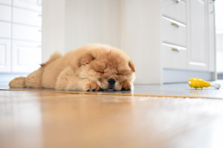 【獣医師監修】室内でも油断禁物!留守番も意識した愛犬の熱中症対策