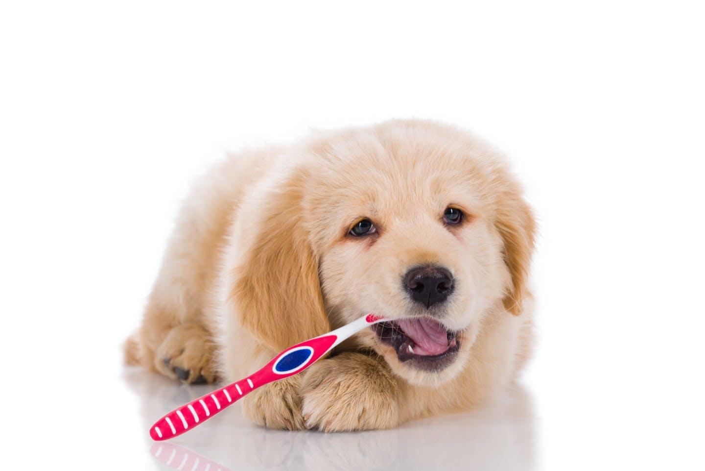 歯ブラシが苦手な犬におすすめ!便利な犬用歯磨きグッズとは?