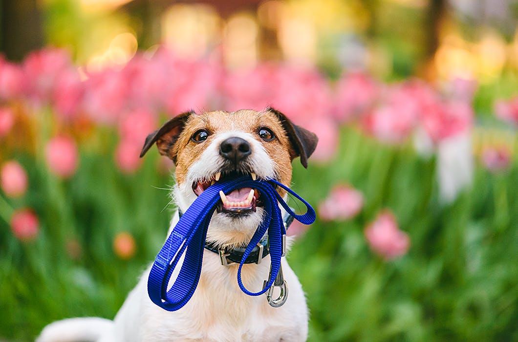 散歩中に愛犬が吠える!引っ張る!……そんなときどうしたらいいの?