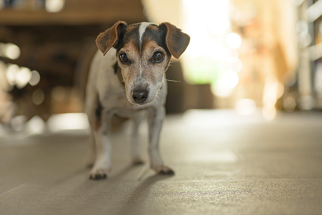 【獣医師監修】犬の心臓病「僧帽弁閉鎖不全症」の症状や治療法とは?