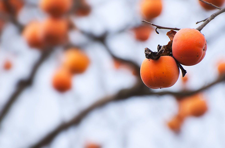 枝になっている柿
