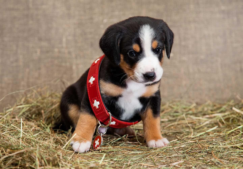 首輪をつけた子犬