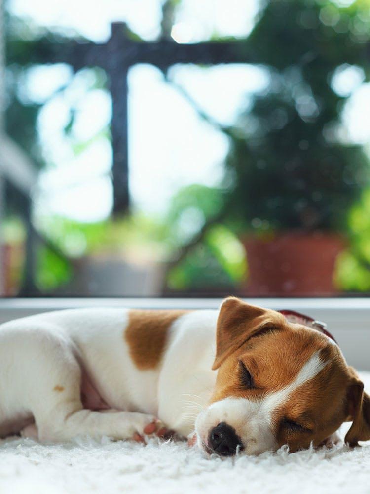 【獣医師監修】犬の睡眠時間が長い理由とは?睡眠不足が与える影響、寝相やいびきからわかることについても解説