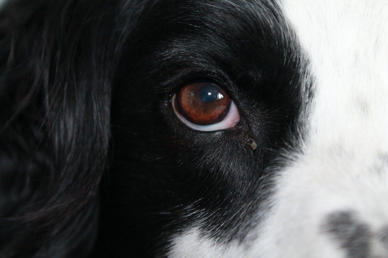 【獣医師監修】犬の目の病気を解説! 異常な目やに・できものは要注意