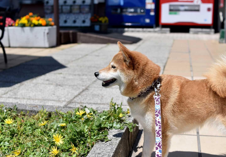 犬が散歩中に立ち止まって歩かない理由は?歩かせるための工夫と飼い主がやってはいけないNG行動について解説【獣医師監修】
