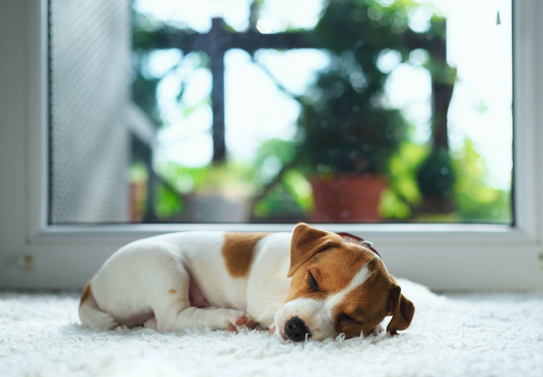 【獣医師監修】犬の睡眠時間はどのくらいが適切?長く眠る理由や睡眠不足のリスク、いびきや寝相についても解説